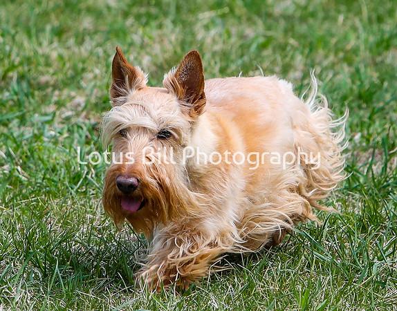 Scottie Terrier Wheaten DH