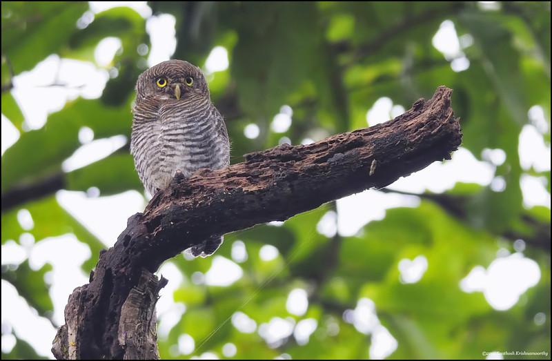 Jungle-Owlet.jpg