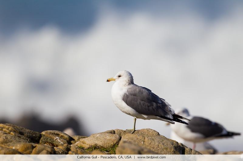 California Gull - Pescadero, CA, USA