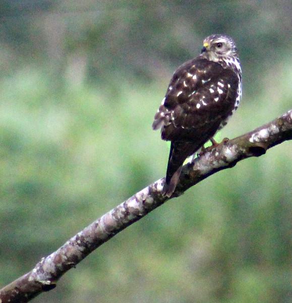 Gray Hawk juvenile