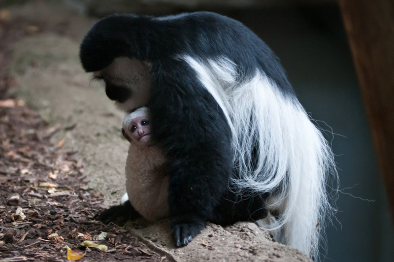 Colobus adult and young