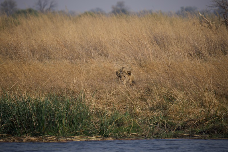 Lion pride watching buffalo, Selinda Explorer camp, Botswana