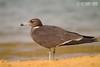Saih al Salaam--Duck Lake, 20.09.2015<br /> © Fouad Itani<br /> <br /> - rare inland record