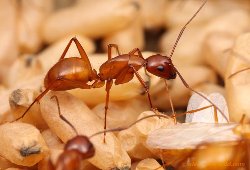 Camponotus castaneus