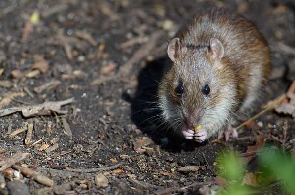 Brown Rat (Norway Rat)
