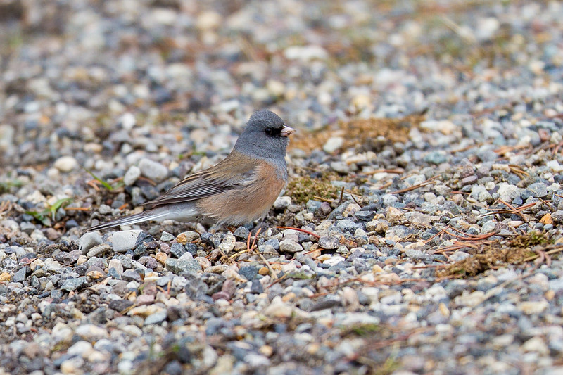 Dark-eyed Junco Pink-sided Junco Yellowstone National Park WY IMG_0270.jpg