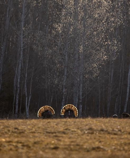 Wild Turkey flock displaying male toms courtship Skogstjarna Carlton County MN  IMGC5745.jpg