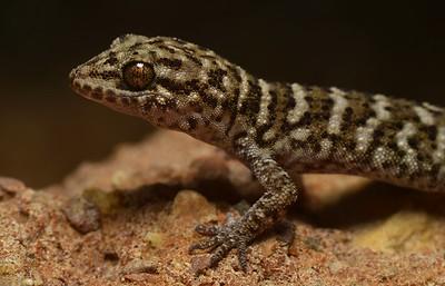 Heteronotia binoei (Bynoe's gecko)