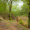 Wild tiger standing on a forest path in the green forests of Ranthambhore during monsoons