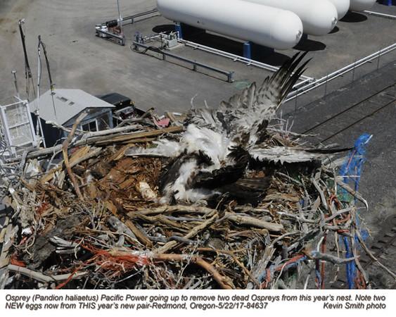 Osprey nest with 2 dead birds A84637.jpg