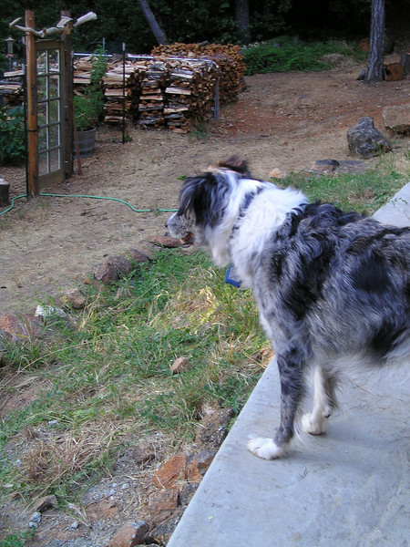 Boost carefully watches as Tika wanders around behind the deer-fenced garden and wood pile. All houses down narrow obscure roads in the hills have huge woodpiles.