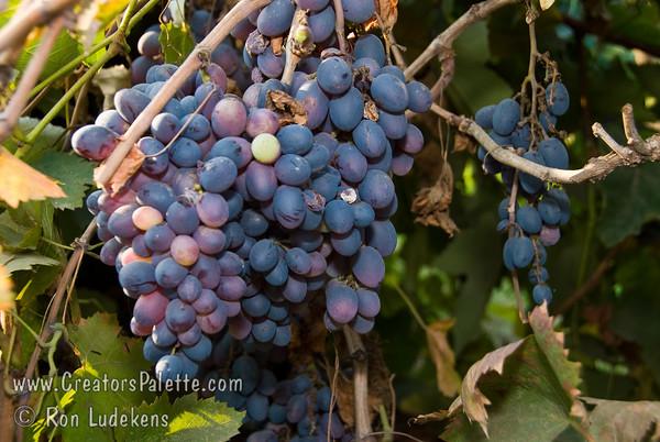 Autumn Royal (Seedless) Grapes - Vitis vinifera