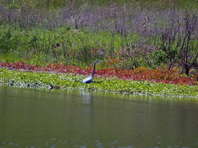 Crane on pond, Briones