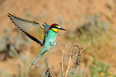 bee-eaters apr 2012 2