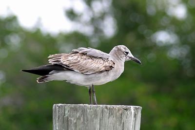 Unidentified Seagulls