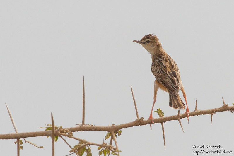 Zitting Cisticola - Kutch, Gujrat, India