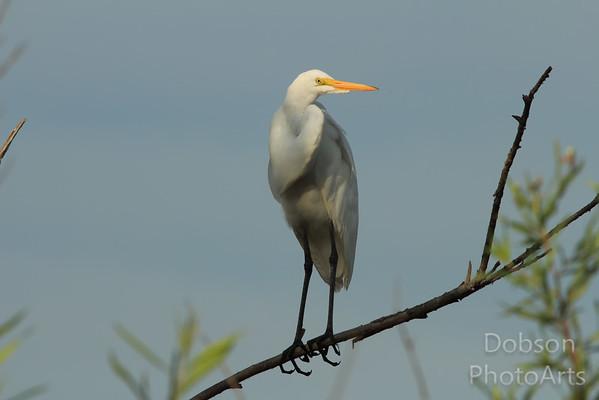 White Egrets II