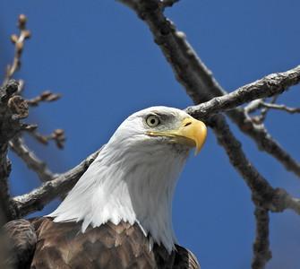 02.22.2021 American Bald Eagles_Canton, Mo.