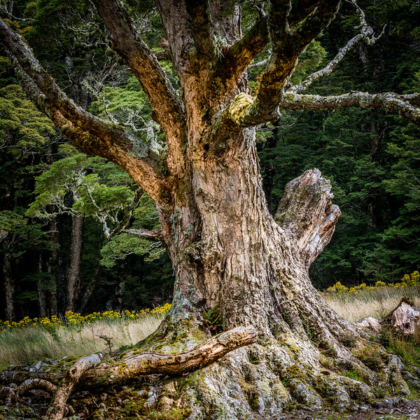 Silver beech in West Matukutuki Valley