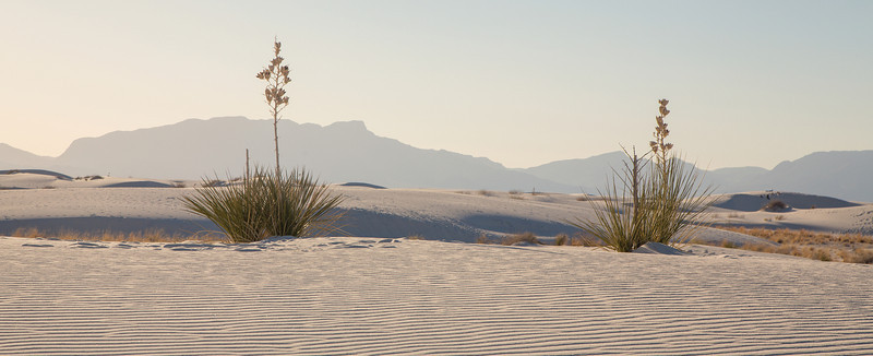 TWIN YUCCAS, WHITE SANDS NEW MEXICO