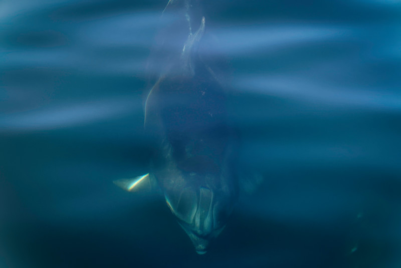 Bottlenose Dolphin in Doubtful Sound