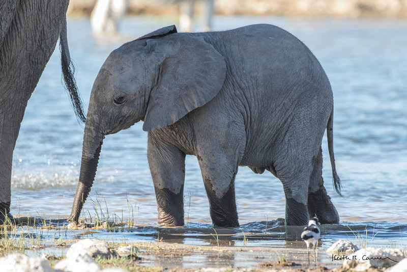 Elephant baby at a waterhole