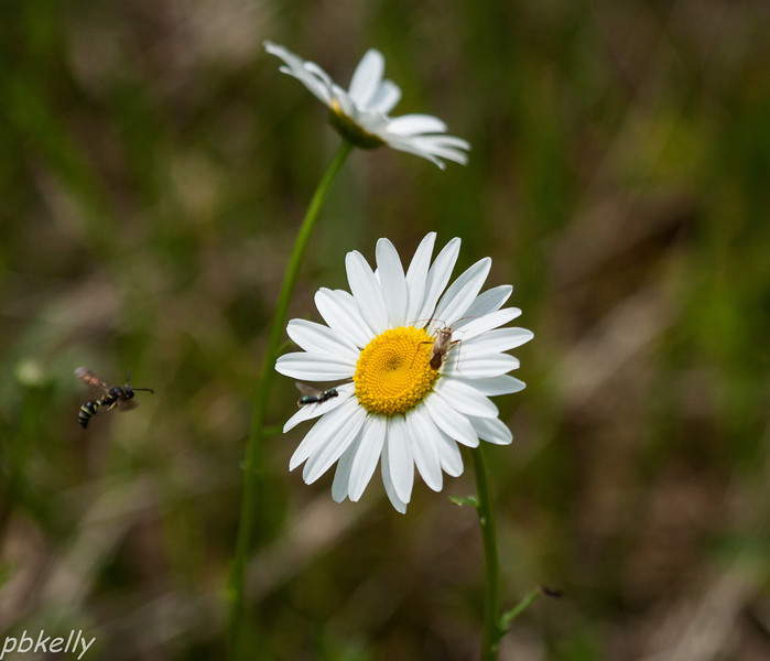 June 9.  Daisies are attractive to all sorts of pollinators.