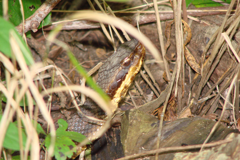 Western Cottonmouth (Agkistrodon piscivorus leucostoma).  TX: Denton County (Lewisville Lake Environmental Learning Area), 4 August 2007.