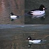 Common Goldeneye (I think) in Waterton