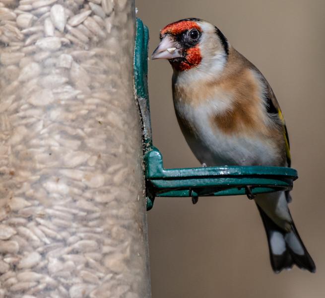 Goldfinch - Carduelis carduelis-4.jpg