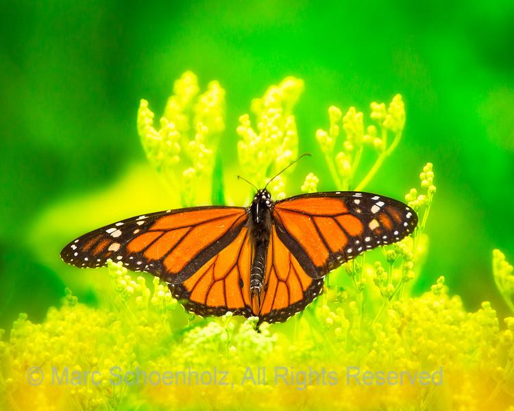 Monarch Butterfly;  Photographed at:  Richard DeKorte Park,  Lyndhurst, NJ,  August,  2010    © 2010 Marc Schoenholz  Camera:  Canon Canon EOS 7D Lens:  700 Shutter Speed:  1/500;  Aperture:  5.6 ISO Setting:  800