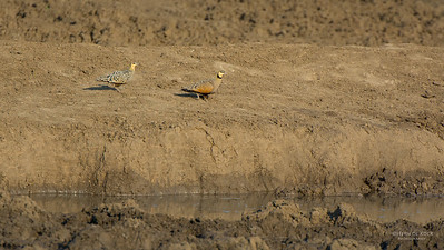 Yellow-throated Sandgrouse (Pterocles gutturalis)
