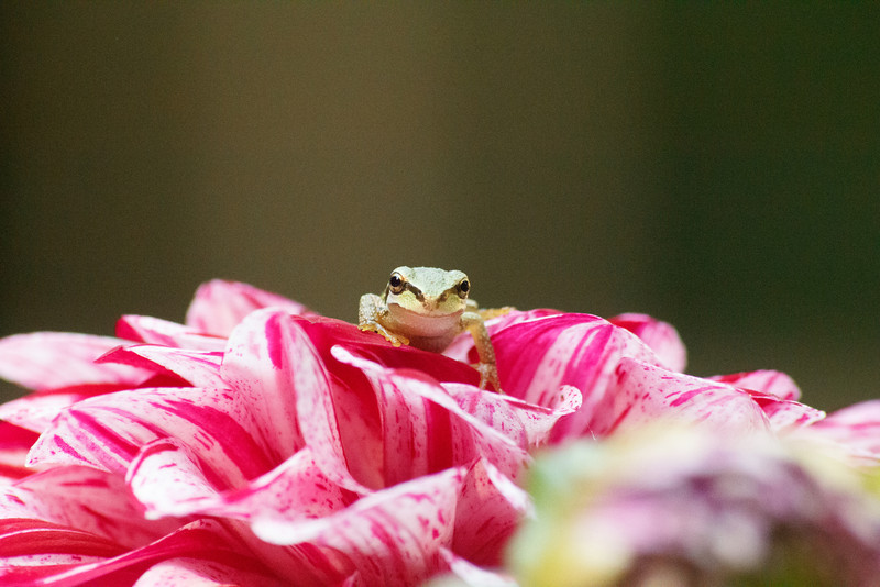 20110903_Frogs0029.jpg