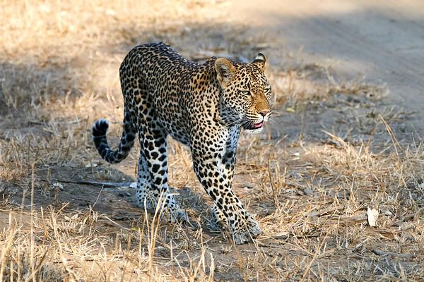 Leopards MalaMala South Africa 2019