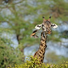 Masai Giraffe grazing in the Tarangire national park in north Tanzania