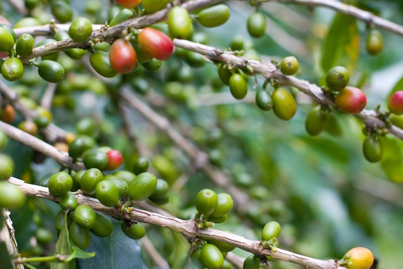 coffee-beans_4809593526_o.jpg