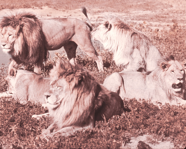 WorldOfAnimals_Lion_B.jpg