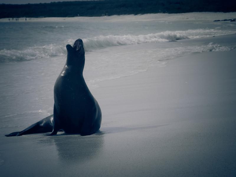 seal barking.jpg
