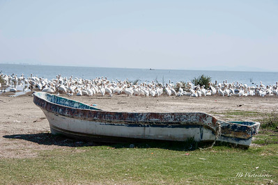 Pelicans of Lake Chapala