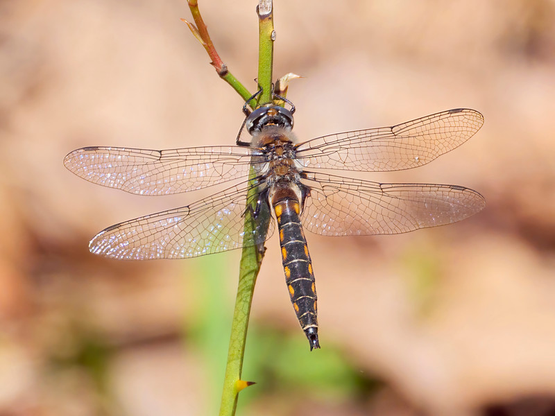 Robust Baskettail (Epitheca spinosa), male