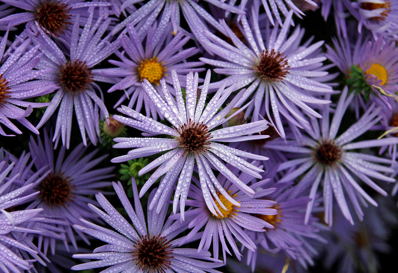 Purple dew
