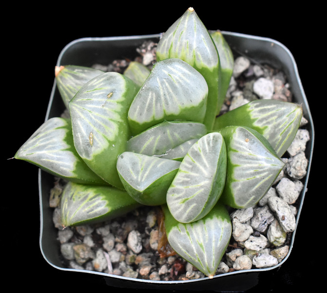 Haworthia muctica hybrid # 1 2020-07-29