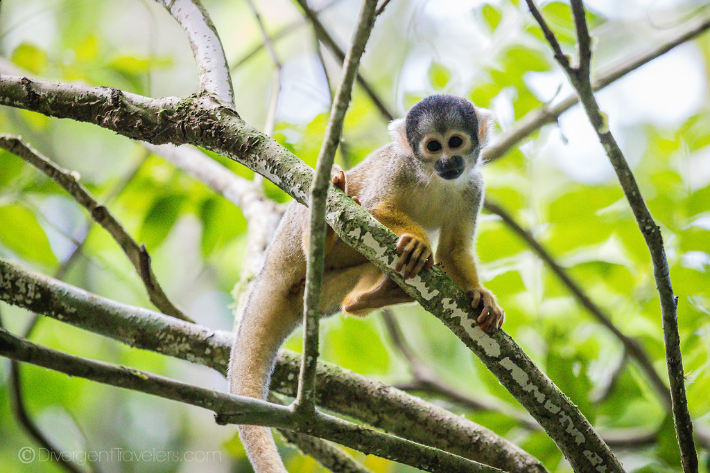 Posada Amazonas - Squirrel Monkey - Lina Stock