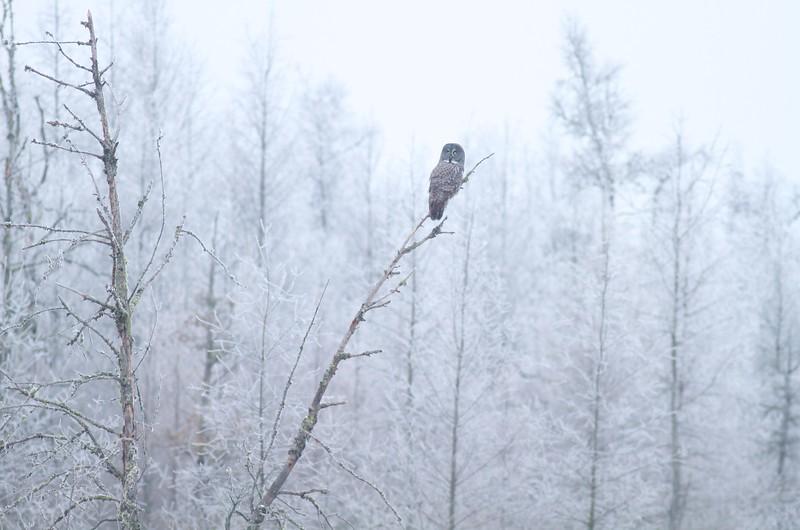 Great Gray Owl hoar frost Admiral Road Sax-Zim Bog MN IMG_1940.jpg