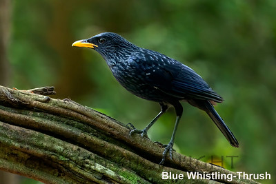 Blue Whistling Thrush, Baan Maka, Thailand