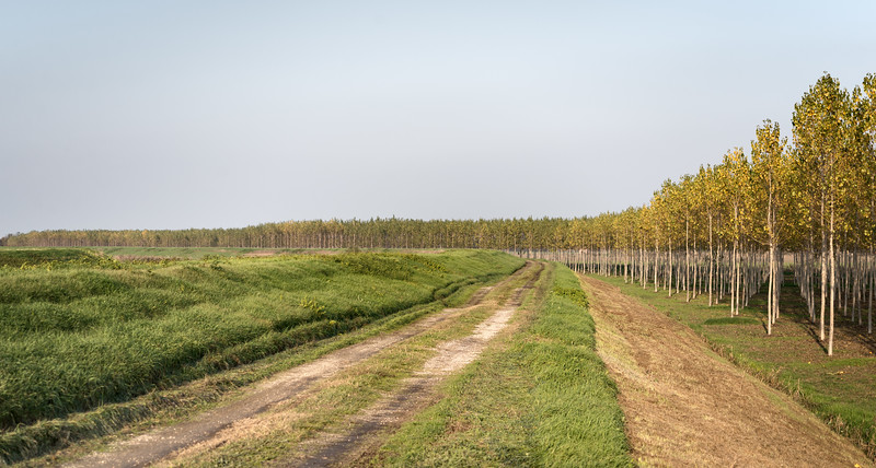 Poplars - Crevalcore, Bologna, Italy - November 16, 2012