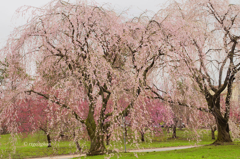 April 13_BranchBrookCherryBlossoms_7854 (2).jpg