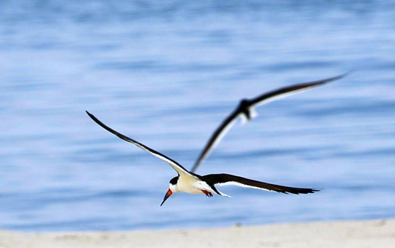 Black Skimmers in flight.