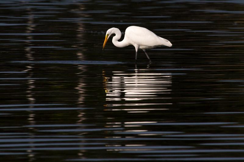 Wading Egret.jpg