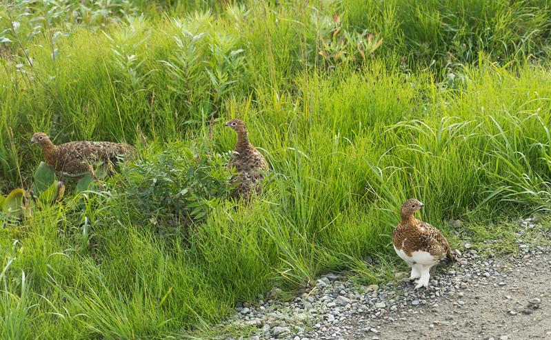 Alaska's state bird - the Willow Ptarmigan